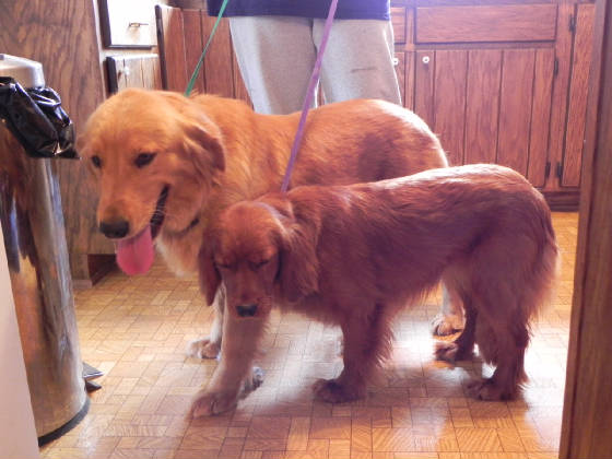 golden standing next to sophie a full grown miniature golden retrieverFull Grown Golden Cocker Retriever